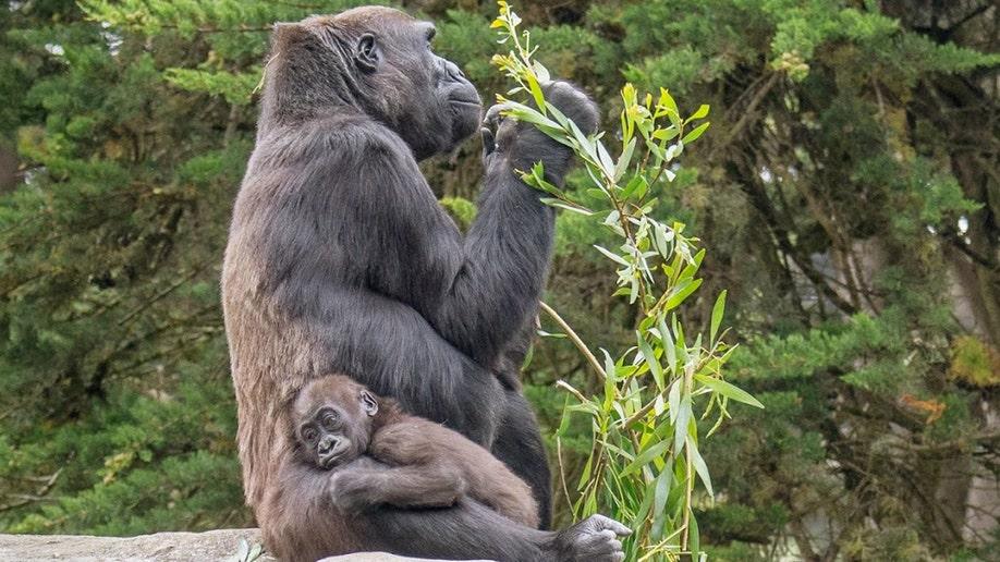 634dab41-Zoo-Gorilla Death