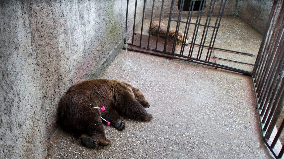 517cf48d-Kosovo Rescued Bears
