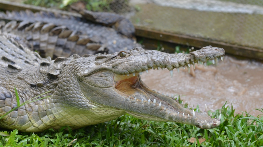 Jamaica Crocodile Hunting