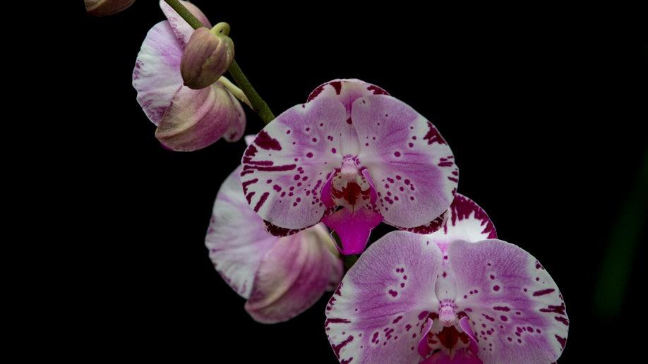 1afae2b6-Britain Orchids