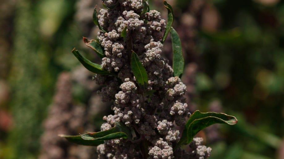 04064753-Bolivia Quinoa