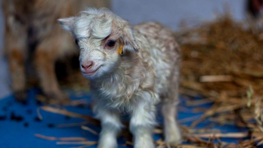 APTOPIX India Kashmir Cloned Goat