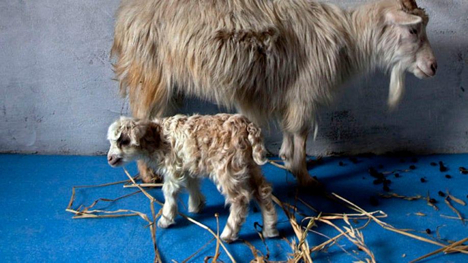 46295f75-India Kashmir Cloned Goat