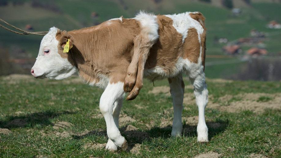 e7156962-Switzerland Six-Legged Calf