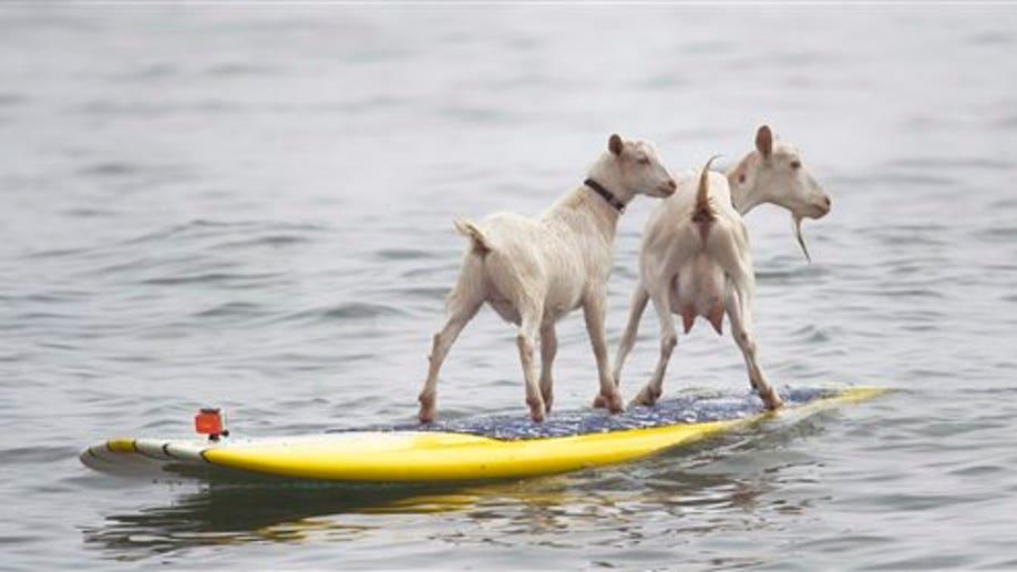 5ac70f49-EEUU-CABRAS SURFISTAS