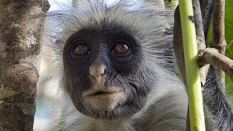 38bc7712-Travel Trip Zanzibar Rare Monkeys