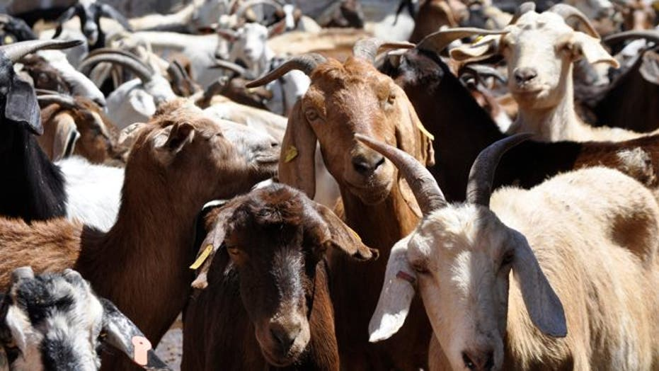 In Mexican town, goat's-blood is the lifeblood of its identity and tradition