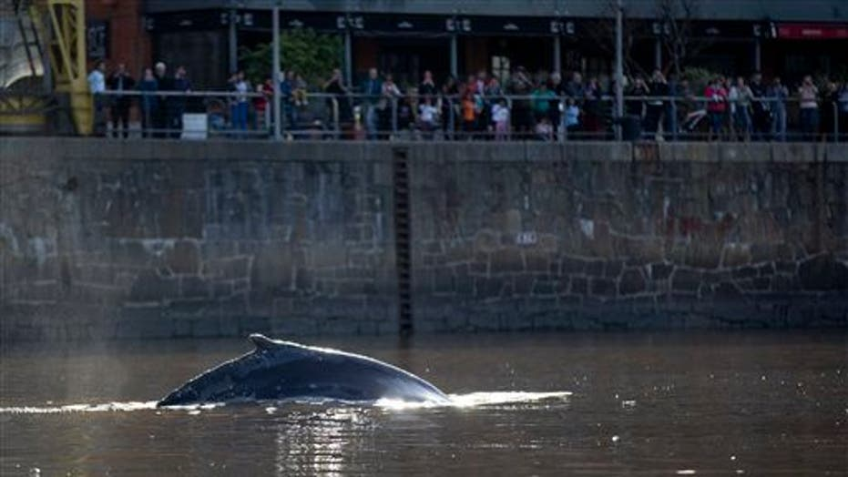 Whale appears alongside yachts in affluent Buenos Aires neighborhood