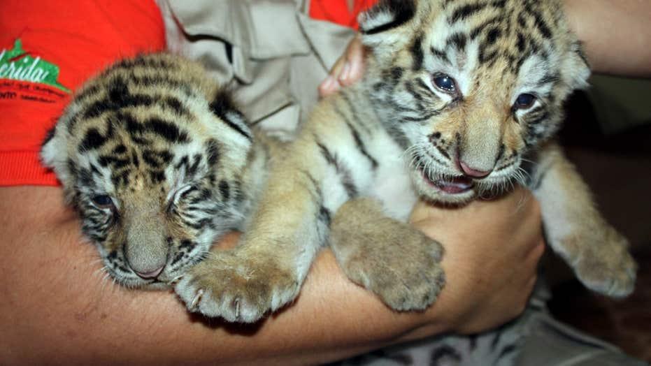 Endangered Tiger Cubs Bring Joy