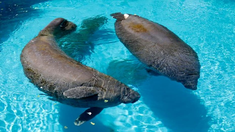 Florida Manatees Back From The Brink Of Extinction Face New Challenge