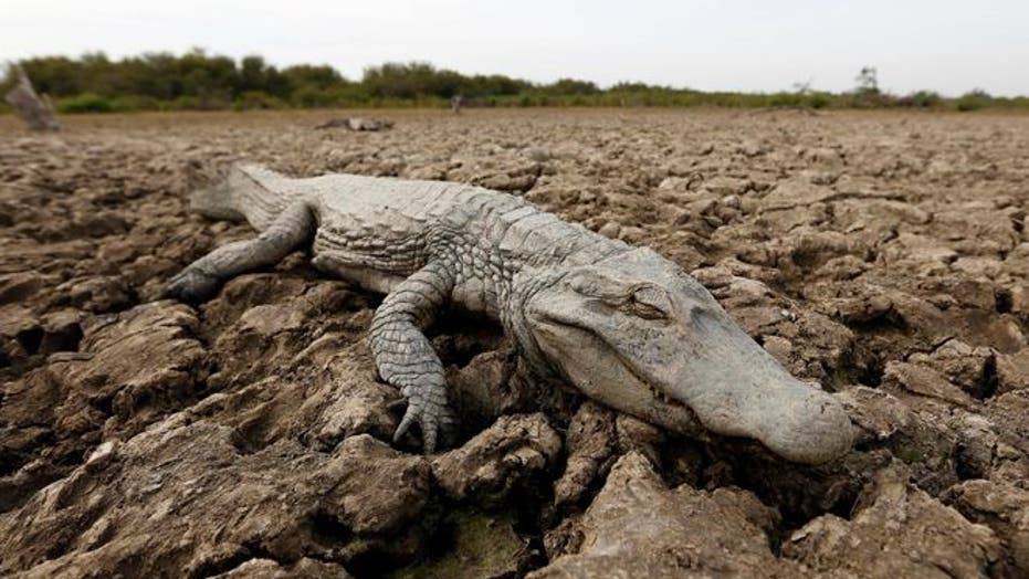 Yacare caimans suffering in drought-stricken Paraguay