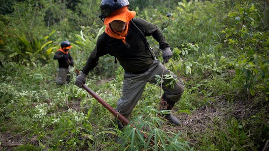 Coca plants eradicators do the job under heavy police watch in Peru