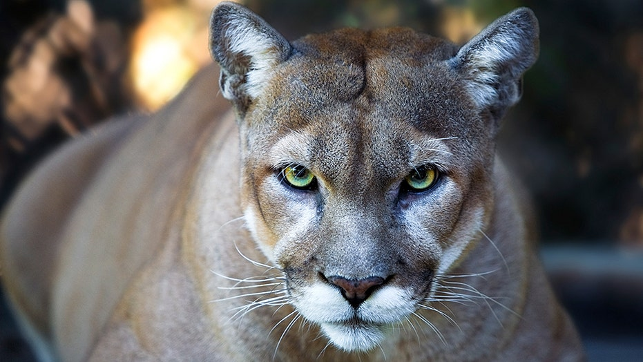 Mother, son approached by cougar in OR