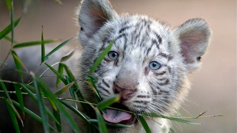 They Are So Cute! Argentinian Zoo Shows Off White Tiger Triplets