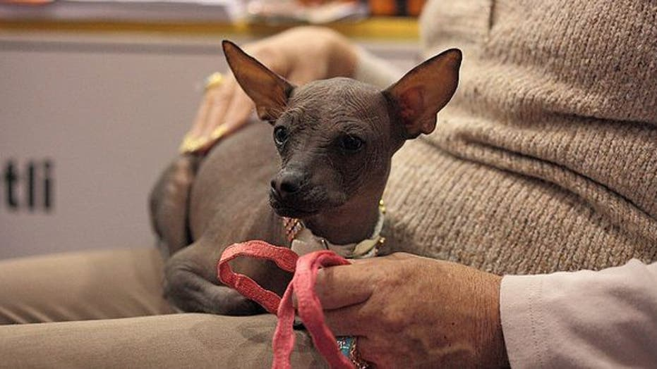 Mexican Hairless Star of the Show