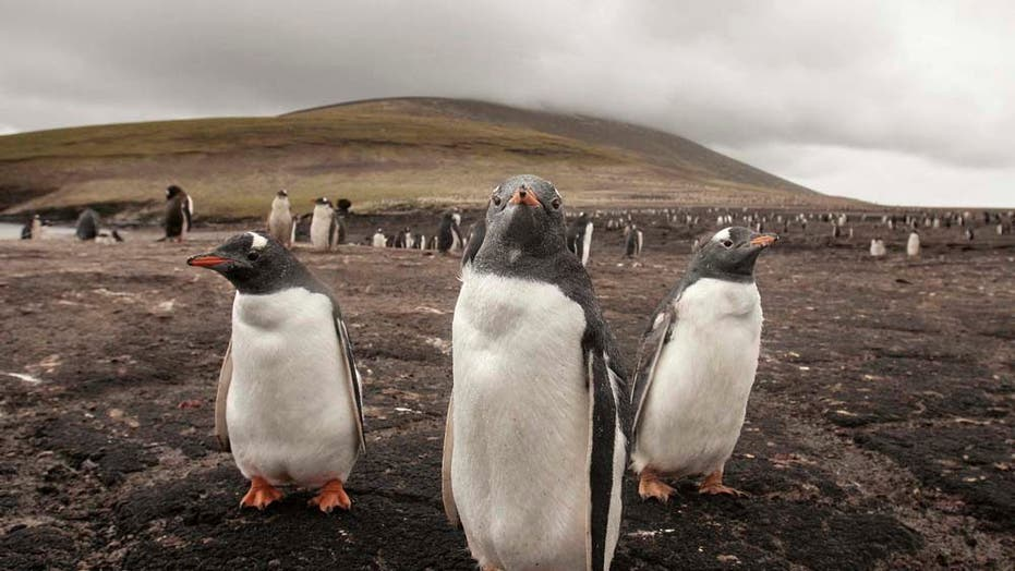 Brazil Sends Beached Penguins to California for Their Health