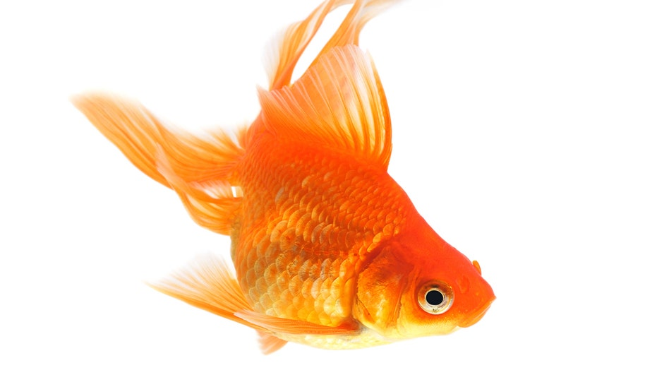 Massive goldfish discovered in South Carolina lake: 'This might be... Methuselah'