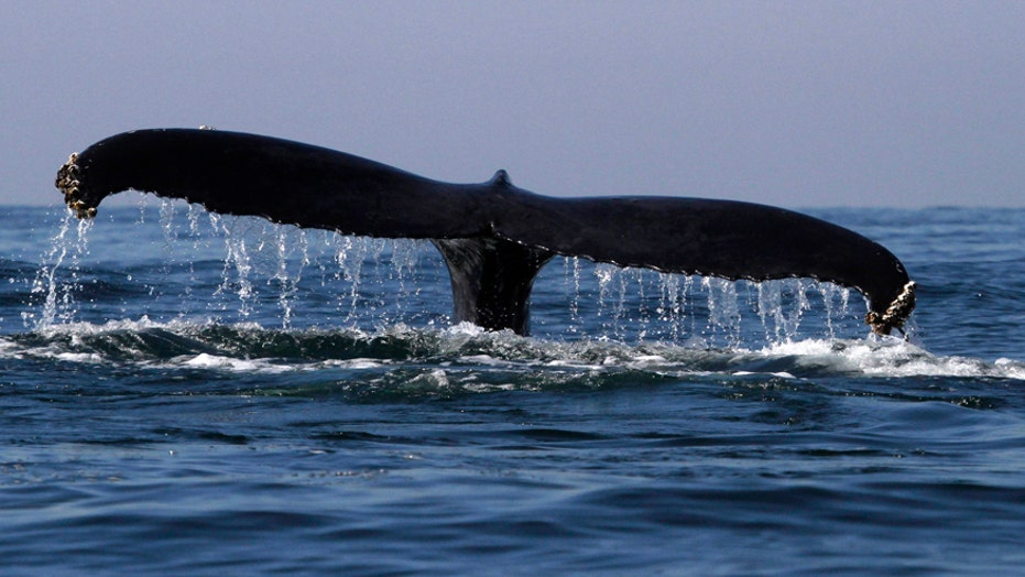 Humpback whale sighted in Hudson River off Manhattan