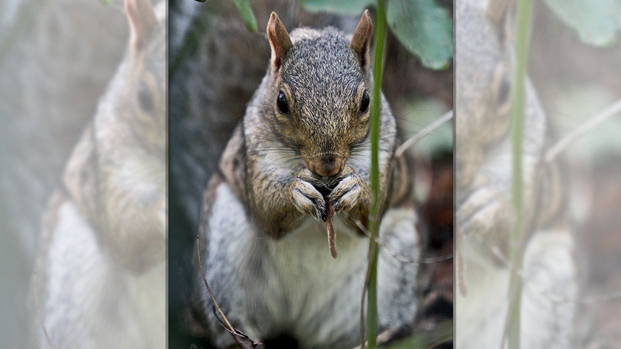 emotional support squirrel gets passenger removed from frontier