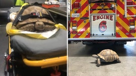 California fire and rescue squad seeking owner of tortoise who was 'unable to outrun the paramedics'