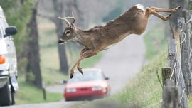 Mating deer pose an expensive road risk