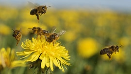 Bees briefly ceased to buzz during total solar eclipse, study finds