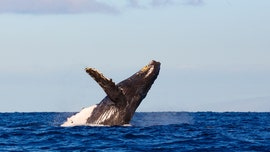 Humpback whale injures Australian swimmer at Ningaloo Reef, reports say