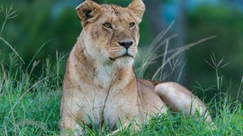 Indianapolis Zoo lioness kills father of her three cubs