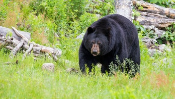 North Carolina man claims he punched bear 'right in the nose' after alleged attack