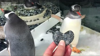 'Gay penguins' to raise first chick; given foster egg at Sydney aquarium