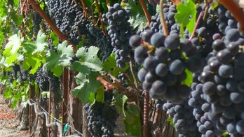 Napa Valley vineyard worker killed after clothing caught in harvesting machine