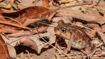 Frogs and toads 'falling' from above in North Carolina as populations explode