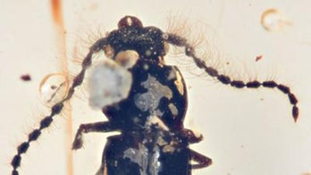 99 million-year-old beetle found trapped in amber