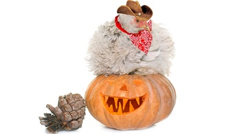 Don't dress up your chickens on Halloween, CDC says