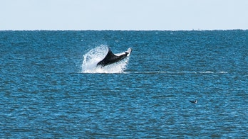 Maryland photographer captures 'rare' image of huge manta ray breaching