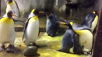 Gay penguins 'kidnap' chick from parents at Denmark zoo after dad 'neglected' it