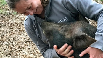 Grover the pig saved from slaughterhouse after animal sanctuary, farm team up