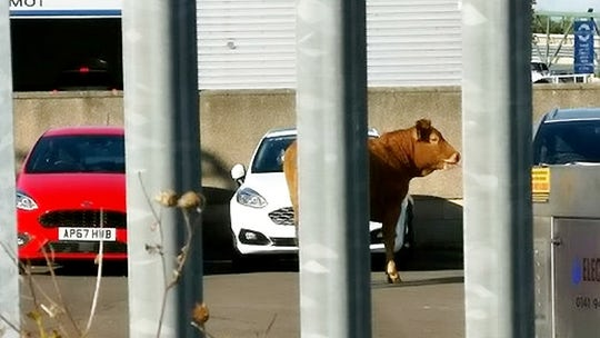 Fugitive cow gets stuck in car dealership, wrecks the place