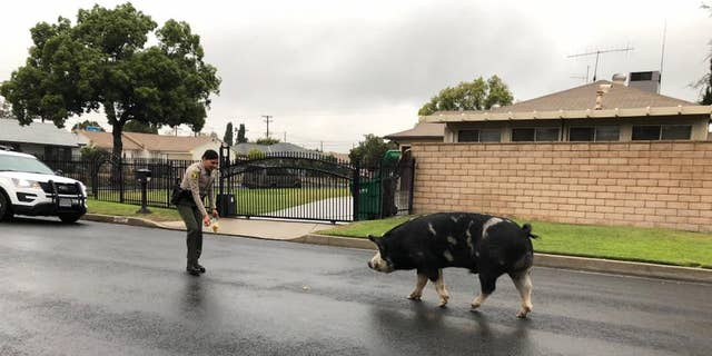 Deputies in San Bernardino, California lured a pig back home with a trail of Doritos.