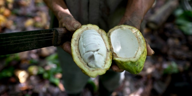 FILE - In this Nov. 15, 2012 file photo, a worker shows the inside of a cacao pod at a cacao plantation in Cano Rico, Venezuela. (AP Photo/Ariana Cubillos)