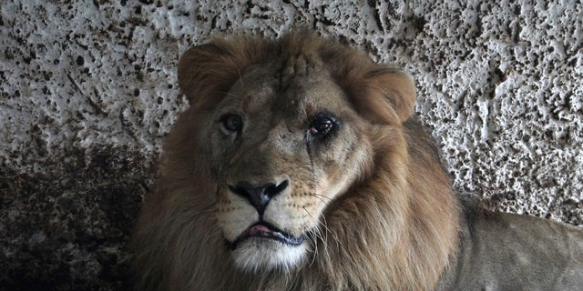 A lion sits in its cage at Safari Zoo Park in Mbrostar, about 100 kilometers (60 miles) south of Tirana, Sunday, Oct. 28, 2018. Albanian authorities have forced their way into a private zoo park to remove some of its animals into a public one with appropriate space and care. (AP Photo/Llazar Semini)