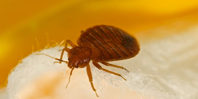 A new investigate suggests bedbugs developed 100 million years -- about 50 million years before a bat, that was believed to have been a parasite's initial host. (Stock image)