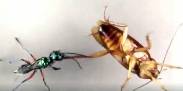 Vanderbilt University professor Ken Catania studied how American cockroaches can successfully fight off emerald jewel wasps.