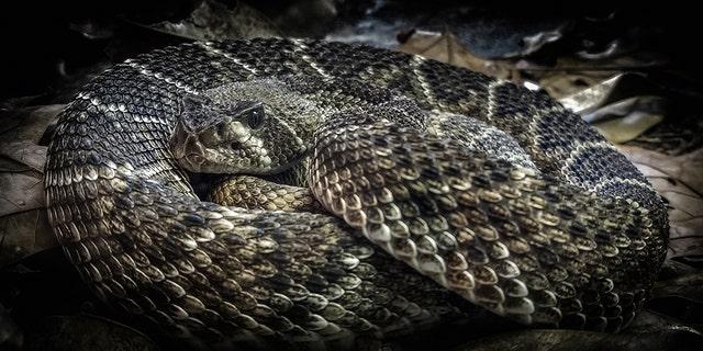 Diamondback rattlesnakes are venomous.