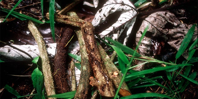 Ayahuasca is a traditional and very powerful hallucinogenic brew made from the root of a local jungle vine.