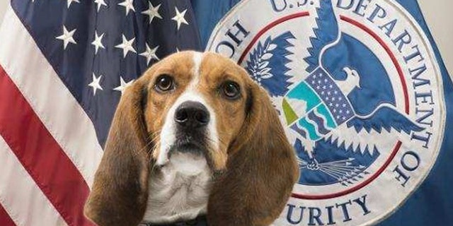 Hardy, a CPB beagle, found a roasted pig at an Atlanta airport on Thursday.