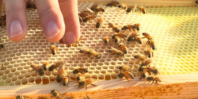 Beekeeper Nicholas Weaver dips his finger into fresh honey, then sucking off the golden goo.