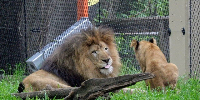 Nyack playing with a cub.