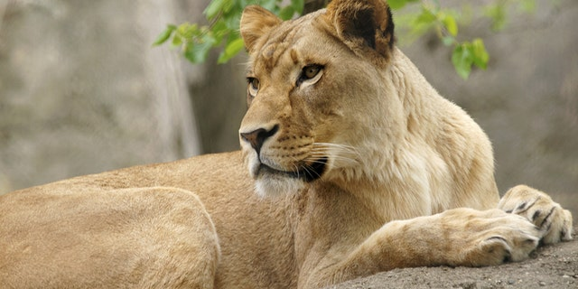 Zuri, a lioness, attacked the lion who fathered her three cubs, according to multiple reports.