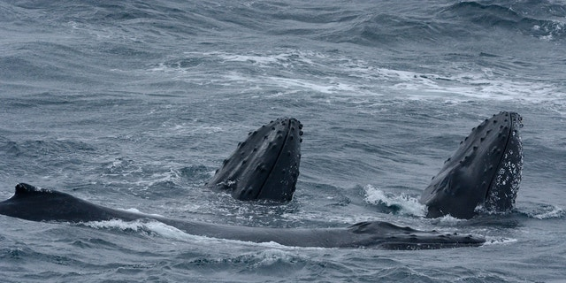 The area is teeming with marine life, such as these humpback whales, according to scientists (©Eric Woehler).